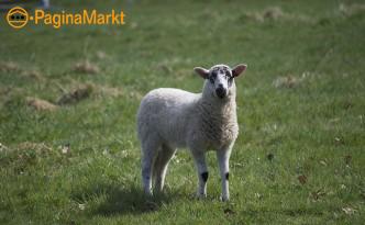 Kopple bijzondere schapen