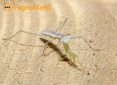 Stagmomantis bidsprinkhaan