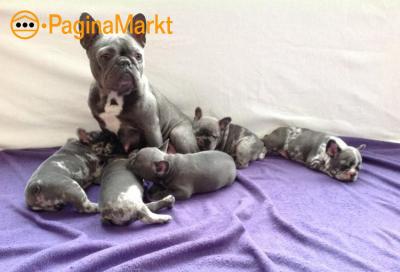 Hele mooie Blauwe Merle Franse Bulldog pups.