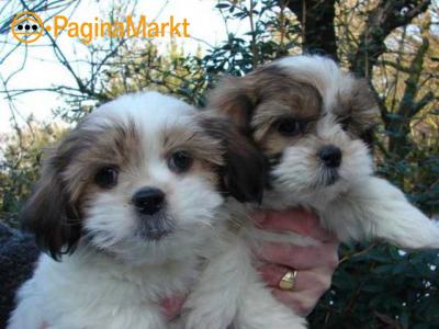 Mooie Shih Tzu Puppies