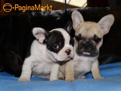 Twee Franse Blaue Bulldog Pups