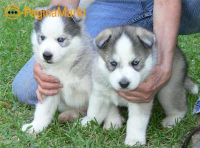 Twee Mooie Siberische Husky pups