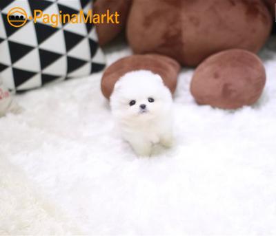 Pommeren puppy te koop
