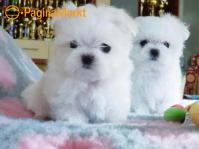 prachtige maltezer pups!