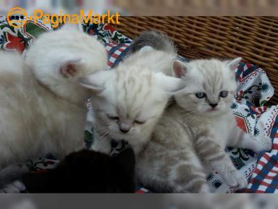 Brits Korthaar Kittens