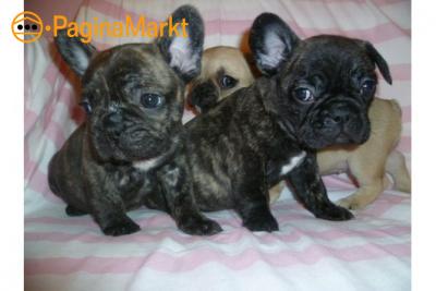 Sociaal Franse Bulldog Pups